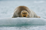 Bearded Seal, Arctic National Wildlife Refuge, Alaska