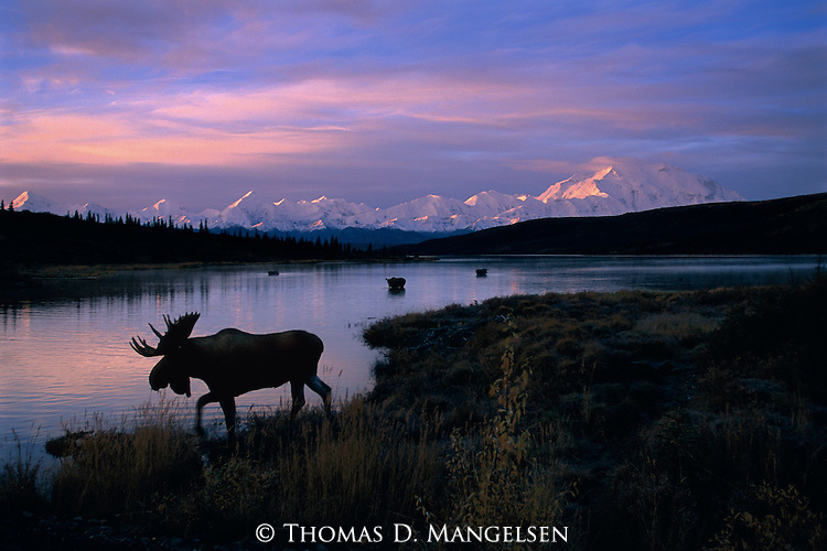 As early morning rays strike the face of Denali and the peaks of the Alaska Range, a bull moose and his harem search the shallows of Wonder Lake for submerged vegetation in Denali National Park, Alaska.