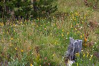 California native plant Sierra mountain meadow with flowering Goldenrod and Paintbrush