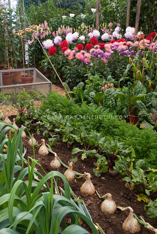 Vegetable Growing with Flowers: Giant Walla Walla onions, beets, leeks, carrots, chard, Dahlias, coldframe, edible plants with blooms