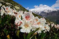 Russia, Caucasus, Caucasian rhododendron (Rhododendron caucasium). Endemic species for Caucasus. Mount Elbrus behind.