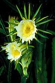 Blossoms of night blooming cereus (Hylocereus undata)