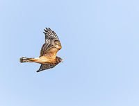 Juvenile Northern Harrier in flight, hunting