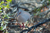 A male Australian Crested Pigeon shelters from the heat in Outback foliage