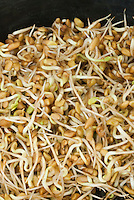 Sprouts: Mung Beans (sprouted in petri dish) Vigna aka Phaseolus legume