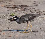 Night Heron with fiddler crab/ Got another one