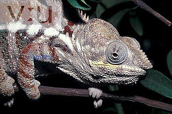 Panther Chameleon (Chamaeleo pardalis), tropical forests of Madagascar.