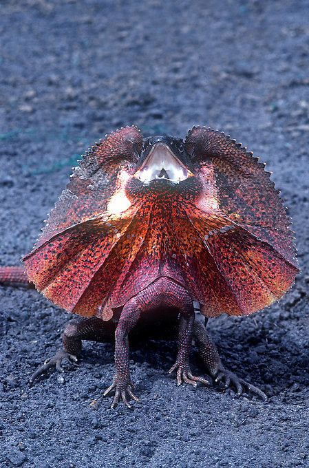 Frill-necked lizard (Chlamydosaurus kingii), also known as the frilled lizard or frilled dragon,Northern Territory, Australia
