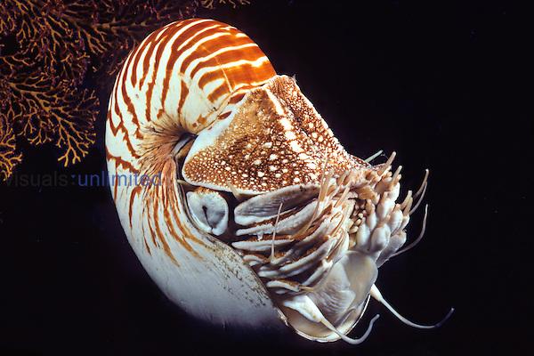 Chambered Nautilus (Nautilus pompilius), Indonesia.