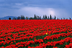 Rows of red tulips with one yellow tulip in Skagit County near Mount Vernon Washington State