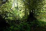 Moss covered trees, West coast highway, between Sook and Port Renfrew.Vancouver Island, British Columbia, Canada.