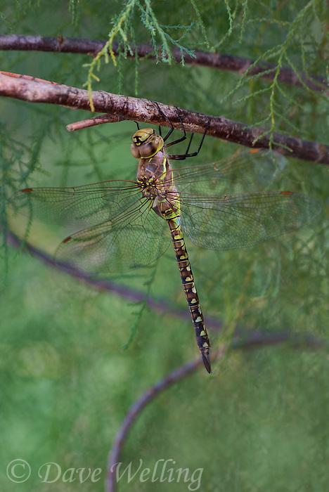 339360065 a wild female heteromorph blue-eyed darner rhionaeschna multicolor perches on a dead stick  in yuma county arizona