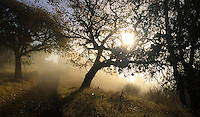 Cherry Hill Novato with California native Oaks in tule fog in morning light