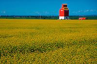 Flowering canola field and grain elevator, Red Deer, Alberta, Canada