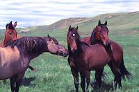 Herd of Free Roaming Wild Horses in Field, Cariboo Chilcotin Coast Region, BC, British Columbia, Canada