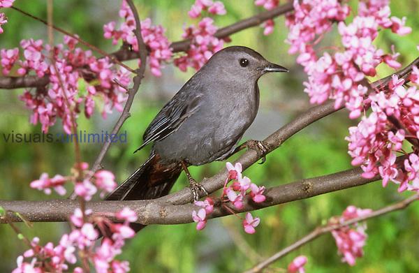 Gray Catbird (Dumatella carolinensis), North America.