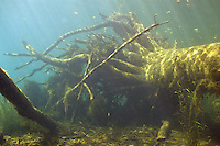 Underwater Scene (Root Wad Underwater on River Bottom)<br />