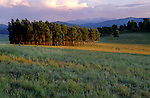 Last rays of sun on stand of pine trees, Valle Vidal, Carson National Forest, New Mexico