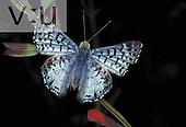 A Blue Metalmark: male. (Lasaia sula) Sanctuary, Texas