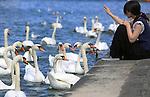 Foto: VidiPhoto<br /> <br /> GENEVE - Wat de duiven zijn op de Dam in Amsterdam, zijn de zwanen op het Meer van Geneve in Zwitserland. Toeristen vermaken zich dagelijks kostelijk met de duizenden zwanen op het beroemde meer. De dieren zijn naast de diverse watersportmogelijkheden en de bekende 140 meter hoge fontein (Jet d'Eau), inmiddels een attractie van formaat geworden. Zelfs zo, dat ze volgens natuurclubs te veel eenzijdige voeding krijgen door het vele brood dat ze toegeworden krijgen. Het stadsbestuur is echter niet van plan om in te grijpen.