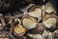 Southern Copperhead (Agkistrodon contortrix contortrix), adult in leaf litter, Raleigh, Wake County, North Carolina, USA