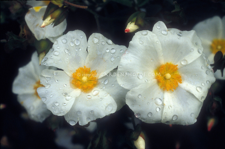 Cistus salviifolius shrub flowers and buds against black background, closeup