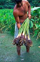 Harvesting taro on a farm in Waipio Valley on the Big Island