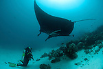 Giant manta rays at a cleaning station with diver (Manta birostris) at a cleaning station. North Raja Ampat, West Papua, Indonesia
