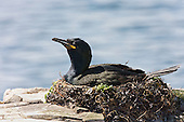 European Shag (Phalacrocorax aristotelis) Sitting on nest, duning the mid day sun. A particularly hot day with little wind. There has been a few days of heat and calm weather due to a high pressure zone (weather). The birds sit on the nests for hours at a time, and with their dark plummage gets very hot, adding to this the brightness of the surroundings.