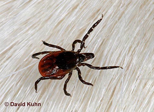 """1022-07yy  Deer Tick - Ixodes scapularis """"on white dog hair looking for a blood meal"""" © David Kuhn/Dwight Kuhn Photography"""