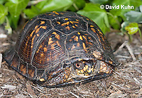 1002-0804  Male Eastern Box Turtle (Tucked in Shell), Terrapene carolina © David Kuhn/Dwight Kuhn Photography.