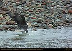 Bald Eagle catching Salmon, Squamish River, Brackendale Eagles Provincial Park, Vancouver, British Columbia