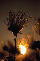 Sun behind Apache plume (Fallugia paradoxa)