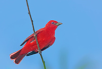 580980014 a wild male summer tanager piranga rubra perches on a tree limb on south padre island cameron county texas