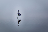 A Great egret captured at the moment its feet barely touched the water joining reality with reflection.