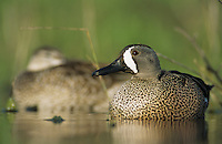 Blue-winged Teal, Anas discors,pair, Willacy County, Rio Grande Valley, Texas, USA, May 2004