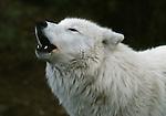 Howling arctic wolf, Ellesmere Island, Canada