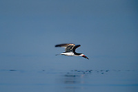 578613008 a wild black skimmer rynchops niger lives up to its name as it skims across a pond at the salton sea national wildlife refuge in california with a fish in its beak