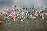 Greater flamingos, Lake Nakuru, Kenya