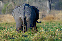 Elephant (loxodonta africana) grazing in Moremi, Botswana. <br /> September 2007.