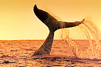 humpback whale, Megaptera novaeangliae, lobtailing or tail slapping at sunset, Hawaii, USA, Pacific Ocean
