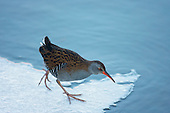 Water Rail (Rallus aquaticus) Walking across a ledge of ice, In a niche, feeding in a ciruit around a little opening in a ditch whilst all water bodies are frozen for other birds in harsh winters. The sounds emited by the Water rail are described, grunts followed by a high-pitched piglet-like squeal and ending in more grunts.