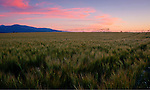 Idaho, Northern, Kootenai County. Ripening wheat and irrigational lines under  pink clouds on the Rathdrum Prairie.