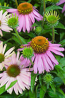 Several Echinacea purpurea Purple Coneflower 'Mistral' flowers and buds and foliage closeup