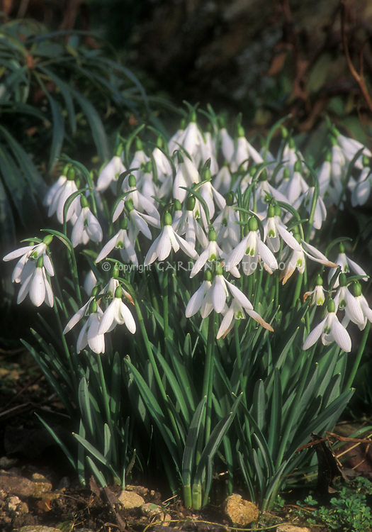 Early spring bulbs Galanthus Atkinsii, snowdrops in white flowers