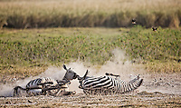 Zebras taking a dust-bath rolling in dust to remove parasites from their skin in Kenya, Africa (photo by Wildlife Photographer Matt Considine)