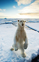 Polar bear (Ursus maritimus) on two feet in arctic ice landscape, Nordaustlandet, Svalbard