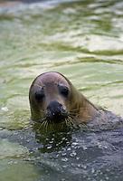 Seal at National Seal Sanctuary, Gweek in Helford Estuary, Cornwall, United Kingdom.