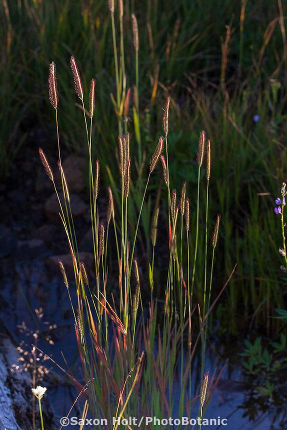 Hordeum brachyantherum Meadow Barley, California native grass in Sierra wet meadow