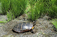 1R13-107z  Painted Turtle - adult going to pond - Chrysemys picta